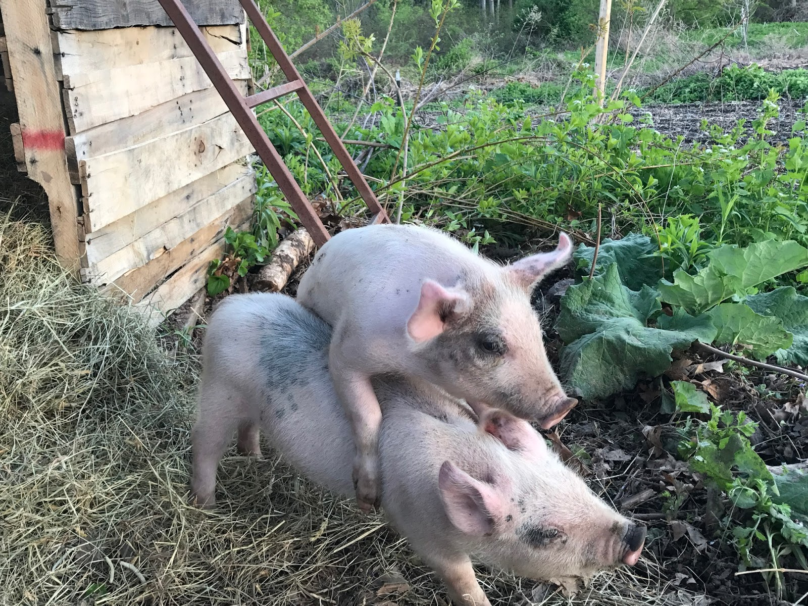 living with pigs the best part