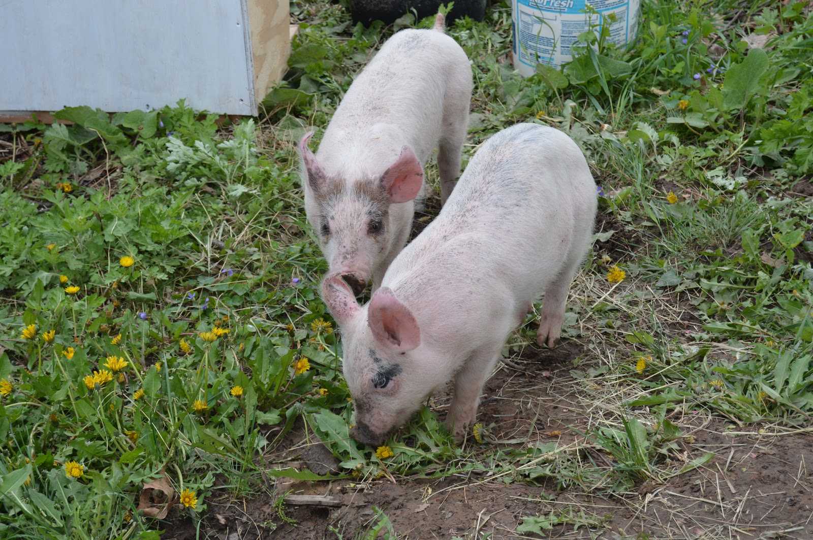 It never seemed like the right time but this year we decided to take the  plunge. We contacted our friend who raises pigs and he came through with  these two ...