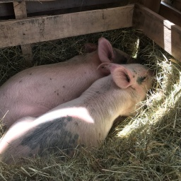 ADVENTURES IN RAISING PIGS