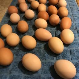 Backyard chickens and fresh eggs