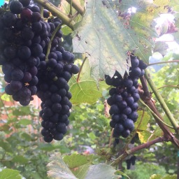 Making Homemade Wine + Growing Grapes = Homestead Happiness