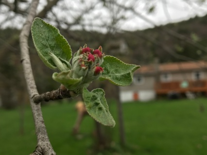 apple blossom2