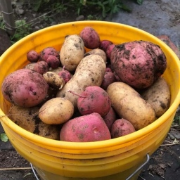 Planting Potatoes to Save Freezer Space