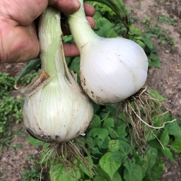 Ditch Your Sets For Huge Onions