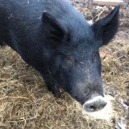 The Story Of Marge: The Stubborn, and Very Lucky, Pig